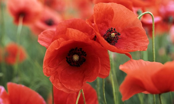 article-poppies-1